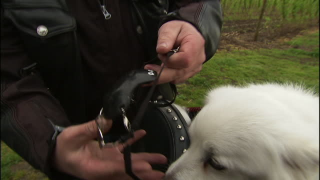 Medium Close Up hand-held - A motorcyclist fits his American Eskimo dog with a helmet, sunglasses and leathers.