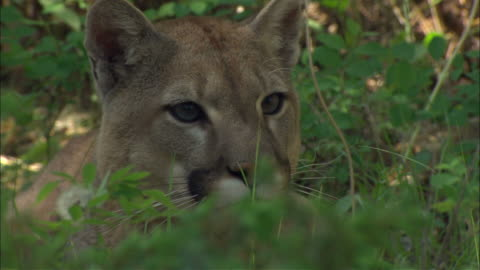 medium close up hand-held - a mountain lion rests in the bushes / united states - mountain lion stock videos & royalty-free footage
