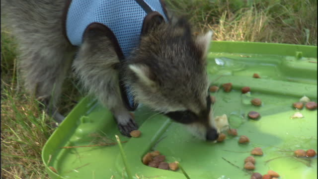 medium close up hand-held - a raccoon wearing a blue vest eats food off a plastic lid. - domestic animals stock videos & royalty-free footage