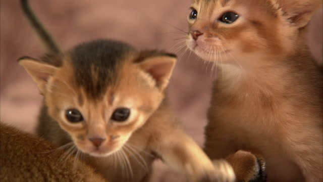Medium Close Up hand-held - Abyssinian kittens play on their mother.