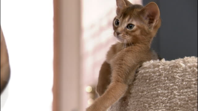 medium close up hand-held - an abyssinian kitten plays with a cat toy. - 可愛らしい点の映像素材/bロール