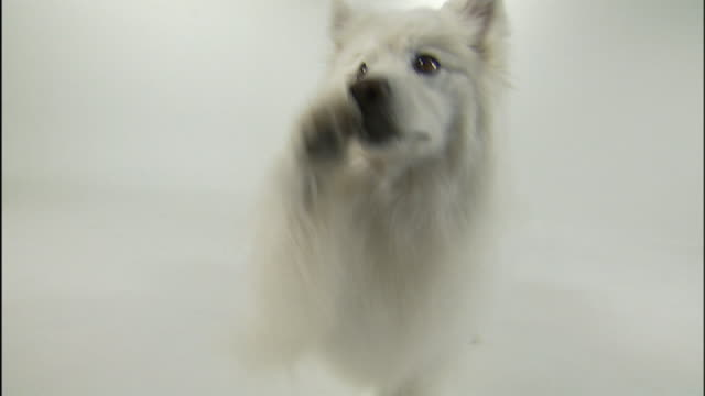 medium close up hand-held - an american eskimo begs and receives a snack. - american eskimo dog stock videos & royalty-free footage