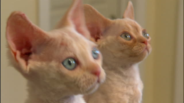 vídeos de stock, filmes e b-roll de medium close up hand-held - devon rex kittens follow activity above their heads. - dois animais