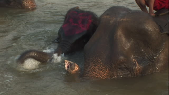 medium close up hand-held - elephants splash in a river in thailand. / thailand - arbetsdjur bildbanksvideor och videomaterial från bakom kulisserna
