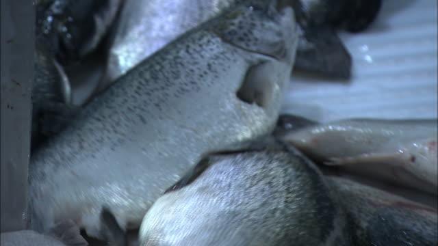 Medium Close Up hand-held - Farm-raised salmon move through a processing factory. / Scotland, Great Britain, UK