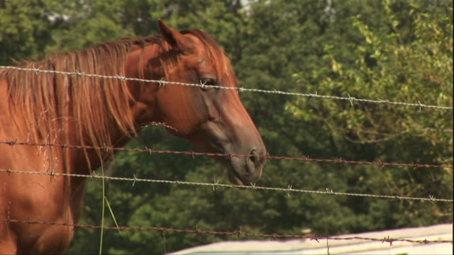 medium close up hand-held - horses roam and graze in a grassy field surrounded by barbed wire. / usa - 動物の色点の映像素材/bロール