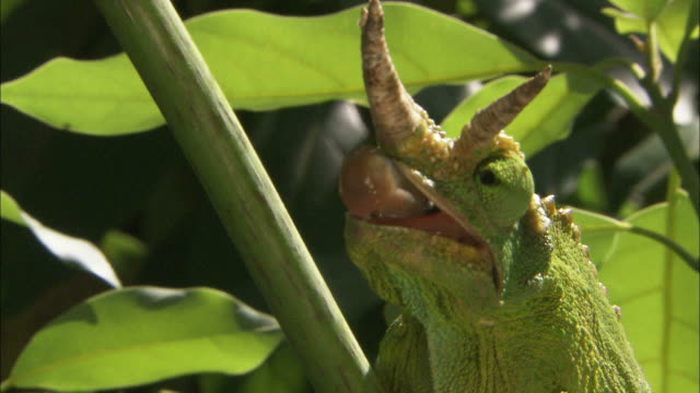 Medium Close Up hand-held pan-left pan-right - A  Jackson's Chameleon uses its tongue to capture food / Uganda