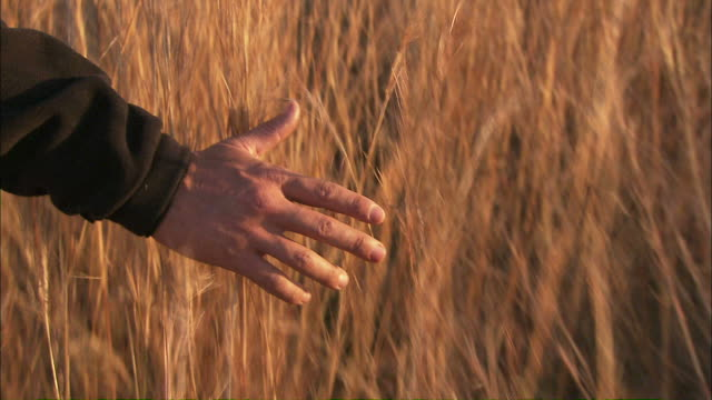 Medium Close Up hand-held push-in - A hand brushes wheat in a field / South Africa
