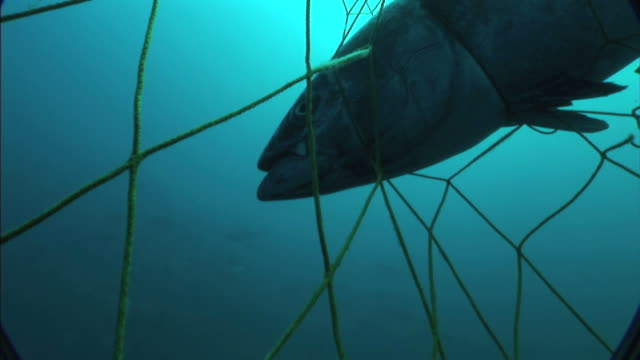 medium close up hand-held push-in - a net ensnares a tuna in the mediterranean sea. / sardinia, italy - fishing net stock videos & royalty-free footage