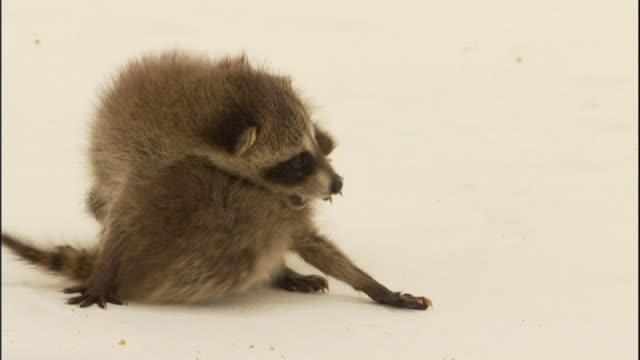 Medium Close Up hand-held - Raccoon kits wrestle.