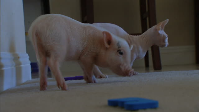 medium close up hand-held rack-focus zoom-out - a bambino cat and a piglet play in a carpeted room. - two animals stock videos & royalty-free footage