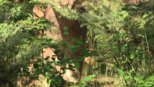 medium close up hand-held tilt-down - a mountain lion walks through a forest / united states - puma stock videos & royalty-free footage