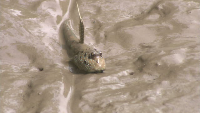 medium close up hand-held tilt-down - a mudskipper propels itself along a muddy bank / indonesia - mudskipper stock videos and b-roll footage