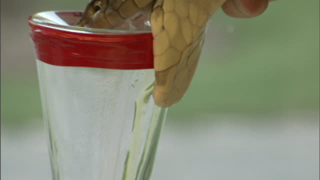 medium close up hand-held tilt-down tilt-up - a herpetologist milks a snake to collect venom. / florida, usa - toxic substance stock videos & royalty-free footage