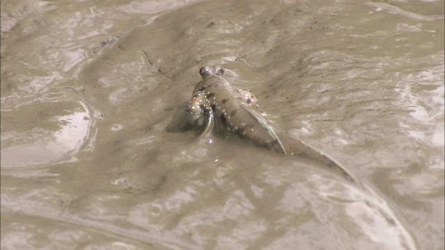 medium close up hand-held tilt-up - a mudskipper wriggles along a muddy bank / indonesia - mudskipper stock videos and b-roll footage