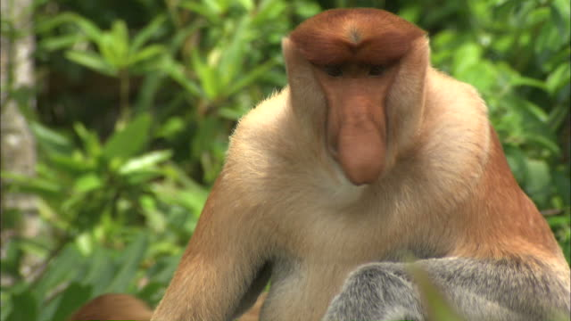 stockvideo's en b-roll-footage met medium close up hand-held tilt-up - a proboscis monkey shows its large nose /borneo, indonesia - tilt up