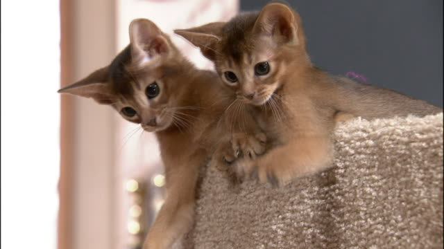 Medium Close Up hand-held zoom-in - Abyssinian kittens bat a toy.