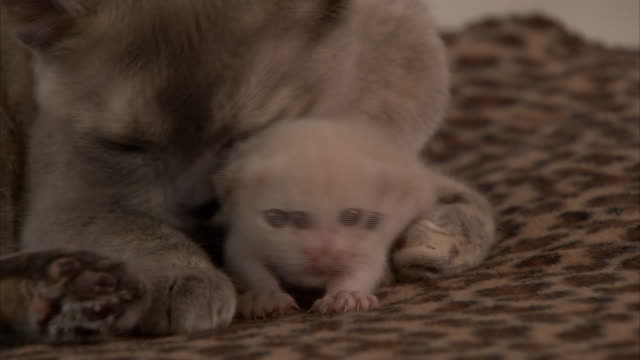 vidéos et rushes de medium close up hand-held zoom-out - a burmese cat grooms her kitten. - famille d'animaux