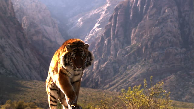 Medium Close Up, Locked Down - A tiger leaps onto a ledge in a mountainous valley / trained tiger is against greenscreen background.