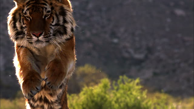 medium close up, locked down - a tiger runs across a field near mountains / usa - wildtier stock-videos und b-roll-filmmaterial