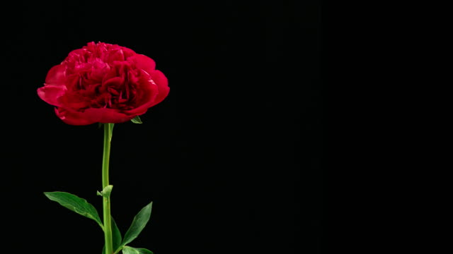 medium close up motion time lapse shot of a flowering peony against a black background, starting from a beautiful flower, to eventually deteriorate, dry up and die. - overexposed stock videos & royalty-free footage