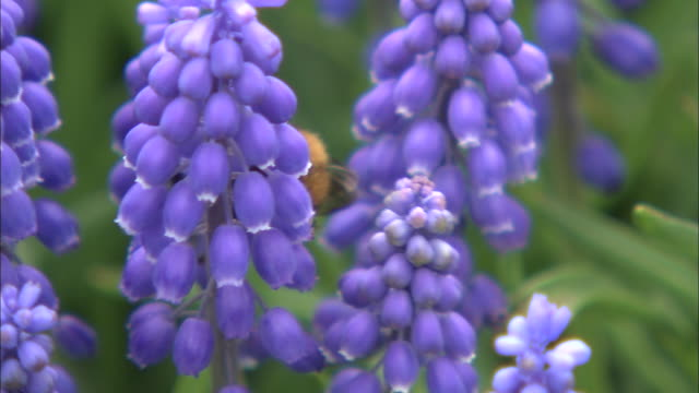 medium close up of an indigenous species of bumblebee (bombus hypocrita sapporoensis) on purple-coloured muscari, a flower of the lily family lilaceae, in the grounds of the takino suzuran hillside national park - hyacinth stock videos & royalty-free footage