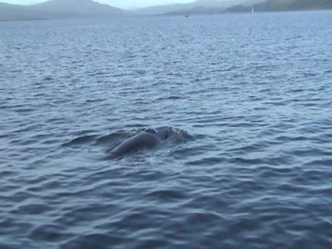Medium close up of Minke Whale as it breaks the surface to breathe left to right