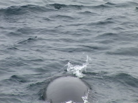 Medium close up of Minke Whale swimming away from camera, see blow hole as it breathes then goes below again.