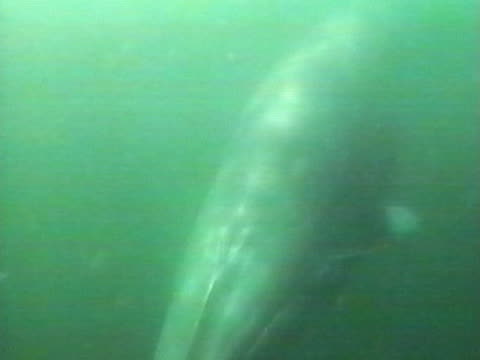 Medium close up of Minke Whale underwater swimming towards camera and dives out of view, very green and murky.