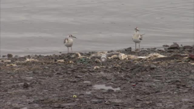 Medium Close Up of Seagulls feeding in dirty water on shoreline