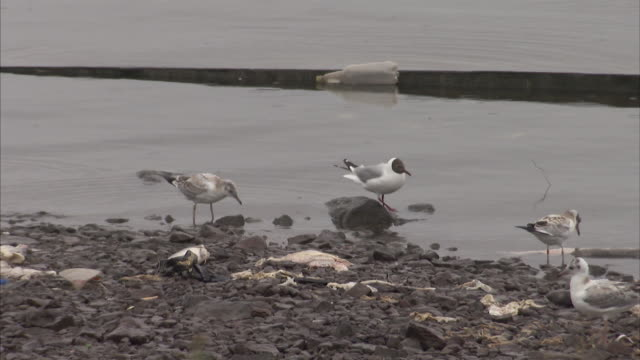 Medium Close Up of Seagulls wading in dirty water on shoreline