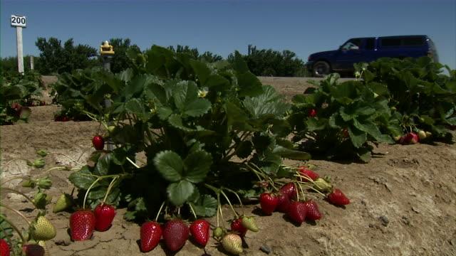 vídeos y material grabado en eventos de stock de medium close up of strawberry plant. - tierra cultivada