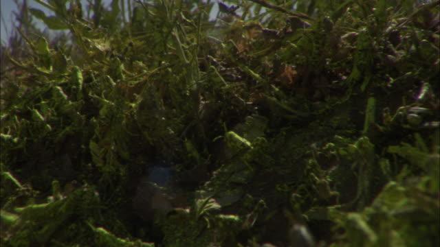 Medium Close Up Pan Left - Locust swarm cover dirt and grassy area / Australia