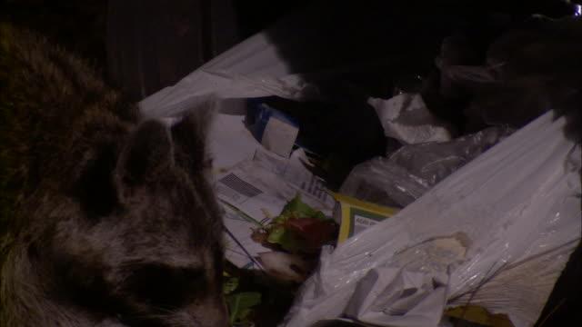 Medium Close Up Pan Left - Racoon eating garbage /