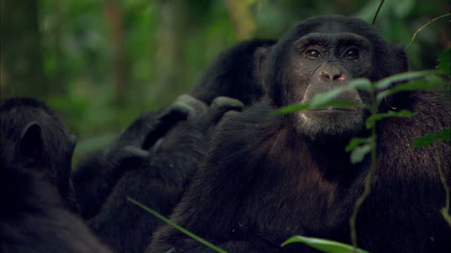 medium close up pan-left - chimpanzees groom each other / uganda - chimpanzee stock videos & royalty-free footage