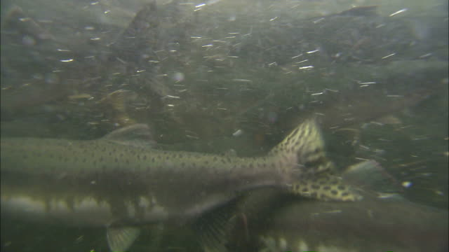 medium close up pan-left steadicam - a school of chinook salmon struggles as they migrate upstream / afognak, alaska, usa - salmon stock videos & royalty-free footage