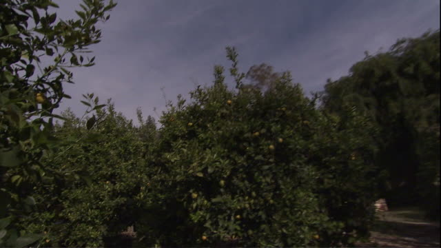 medium close up pan-left zoom-in - lemons hang on trees in an orchard under a bright blue sky / camarillo, california - camarillo stock videos & royalty-free footage