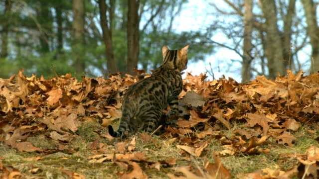 Medium Close Up pan-right - A Bengal cat jumps over fallen leaves in a forest.