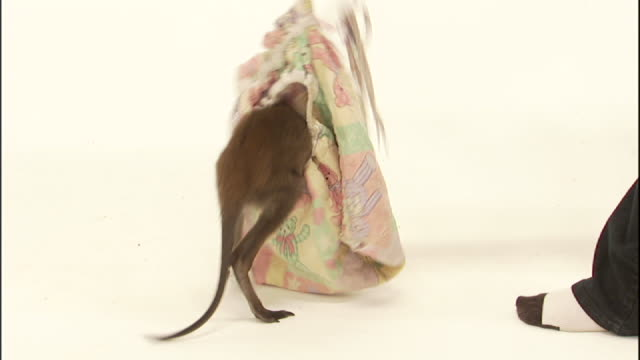 Medium Close Up pan-right - A wallaby hops across a white floor and climbs into a bag.