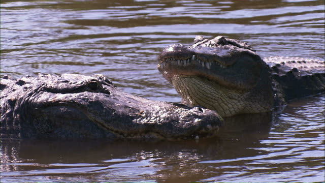 medium close up pan-right steadicam - alligators interact in a river / florida, usa - two animals stock videos and b-roll footage