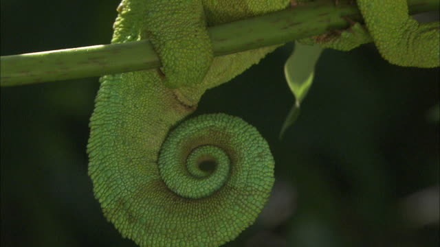 medium close up pan-right zoom-out - a jackson's chameleon balances on a branch / uganda - spiral stock videos & royalty-free footage