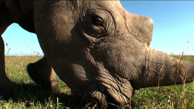 medium close up push-in - a rhino grazes on the savanna. / kenya - rhinoceros stock videos & royalty-free footage