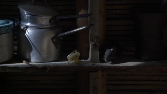 Medium Close Up - Rat walking on kitchen shelf amongst kitchen supplies / Bangladesh