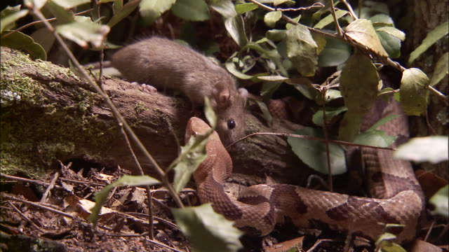 medium close up - rodent sniffs air near snake /  - rodent stock videos and b-roll footage