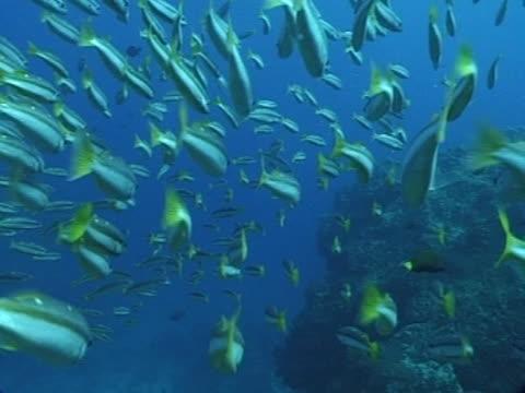 Medium close up shoal of  humpback snapper swim by reef boulders