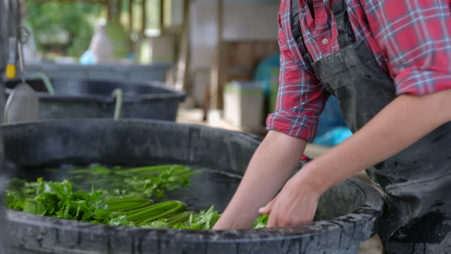 medium close up shot of female farmers hands washing organic celery on tub on farm - scrutiny stock videos & royalty-free footage