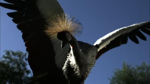 medium close up slow motion - crowned crane flapping its wings and taking flight / costa rica - utfällda vingar bildbanksvideor och videomaterial från bakom kulisserna