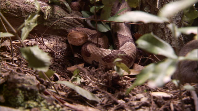 medium close up - snake observes rodent walking past /  - rodent stock videos and b-roll footage