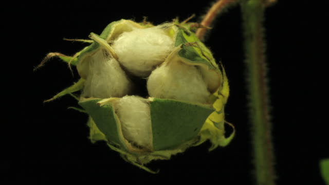 medium close up static _ a cotton plant blooms - baumwolle stock-videos und b-roll-filmmaterial