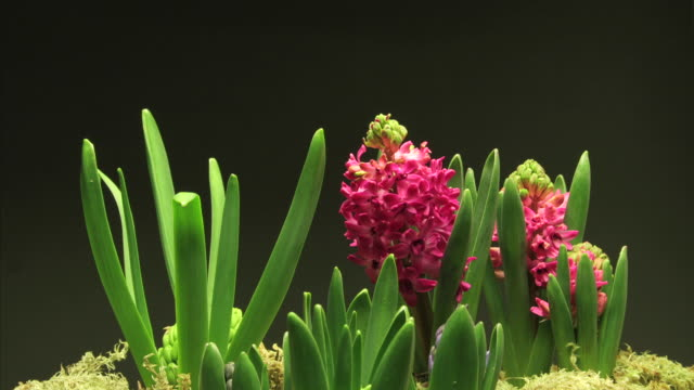 medium close up static _ a hyacinth blooms and grows - hyacinth stock videos & royalty-free footage